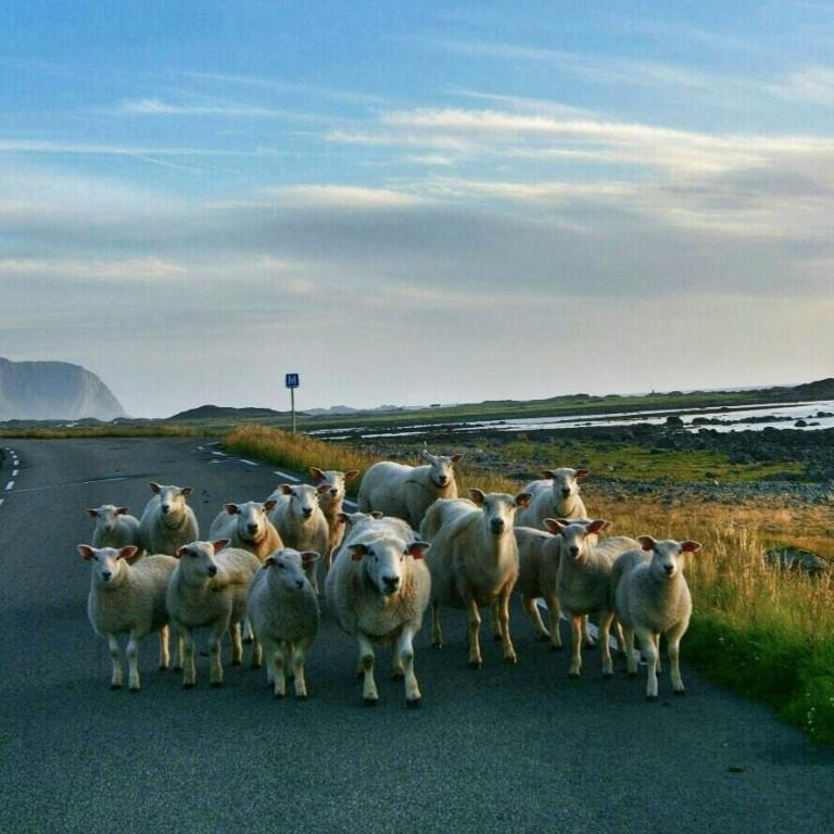 Un rebaño de ovejas a las 2:00 a.m extrañadas de ver coches en su carreteras /A flock of sheep at 2:00 am amazed to see cars in your road